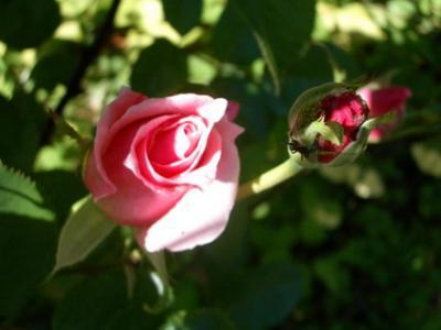 Rosas y Hormigas